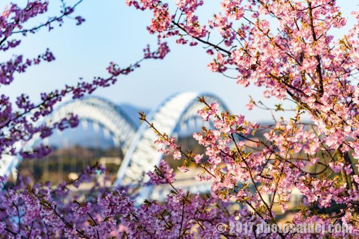 西海橋公園に咲く河津桜