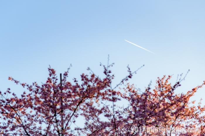 西海橋公園に咲く河津桜と飛行機