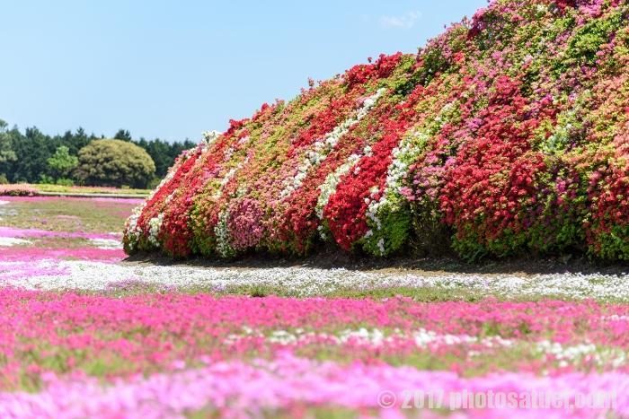 芝桜とツツジ 長崎 松本ツツジ園