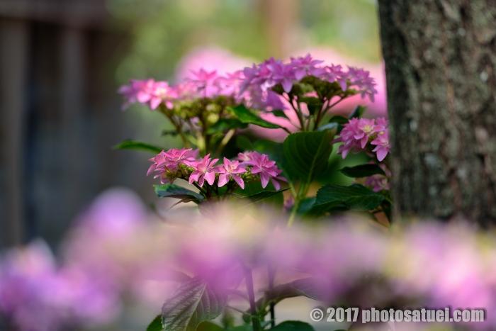 2017 ながさき紫陽花まつり