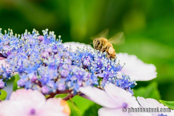 あじさいと蜂