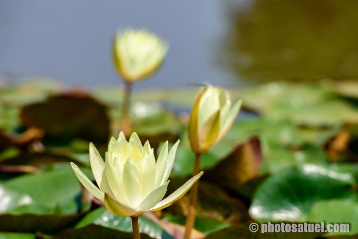 長崎 唐比ハス園 蓮の花