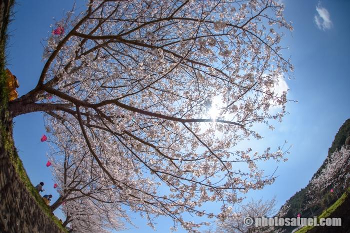 長崎琴海戸根町戸根川の桜