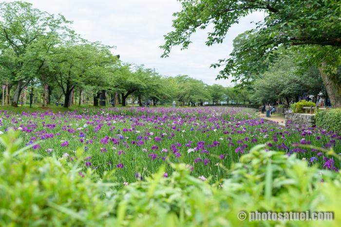 大村公園 花菖蒲