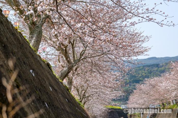 琴海桜まつり