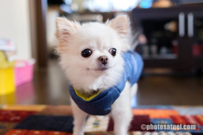 犬 チワワ